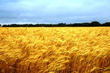 Ripe-wheat2.jpg